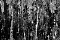 Big Cypress Swamp in Florida. Image taken with a Leica X2 camera (ISO 100, 24 mm, f/16, 1/60 sec). Image converted to B&W in camera.