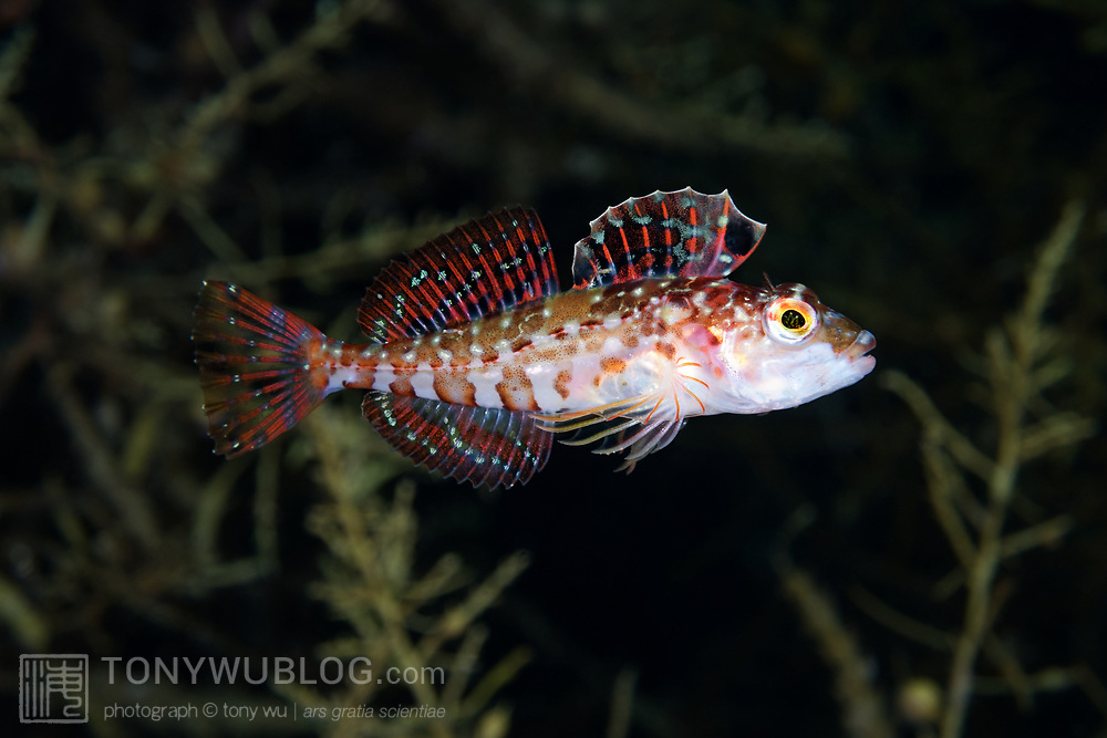 Pseudoblennius zonostigma with fins on full display. This genus of sculpins is native to the northwest Pacific Ocean.