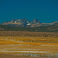 Gulls rest by an alkaline pond in the Sierra Nevada near Mammoth Lakes, California.  Behind are Mounts Ritter and Banner.