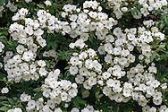 "The ""Rambler"" Rose variety 'Seagull' blooming in a backyard rose garden"