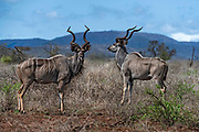 Two males greater kudu (Tragelaphus strepsiceros) in Zimanga Private Reserve, South Africa.