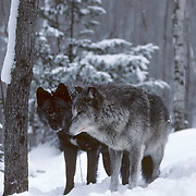 Gray Wolf, (Canis lupus) Pair of wolves in Snowy timber. Captive Animal.