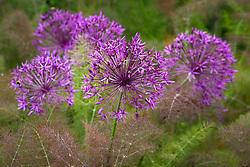 Allium 'Purple Rain' with Foeniculum vulgare 'Purpureum'. Bronze fennel