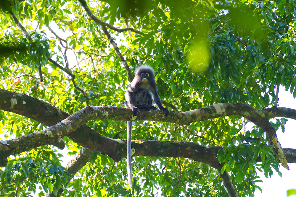 Ranforest Camp Elephant Hills Luxury Floating Tented Camp in the rainforest in Southern Thailand.  A dusky Langur Monkey in the jungle.