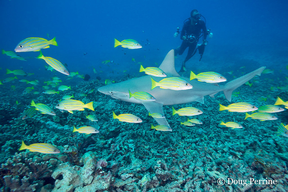 sandbar shark, Carcharhinus plumbeus, with parasitic copepods around eye and fish hook in corner of mouth, swims over reef with bluestripe snapper or taape, Lutjanus kasmira, and past scuba diver with underwater camera, Honokohau, North Kona, Hawaii ( the Big Island ),  United States ( Central North Pacific Ocean ) MR 482