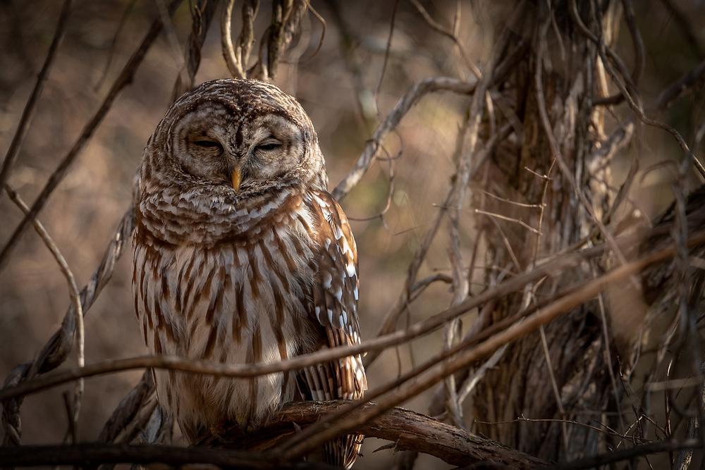 Barred Owl resting in early morning light in Nashville, TN.