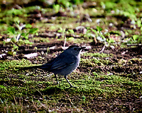 Gray Catbird. Image taken with a Nikon D3s camera and 80-400 mm VR lens.