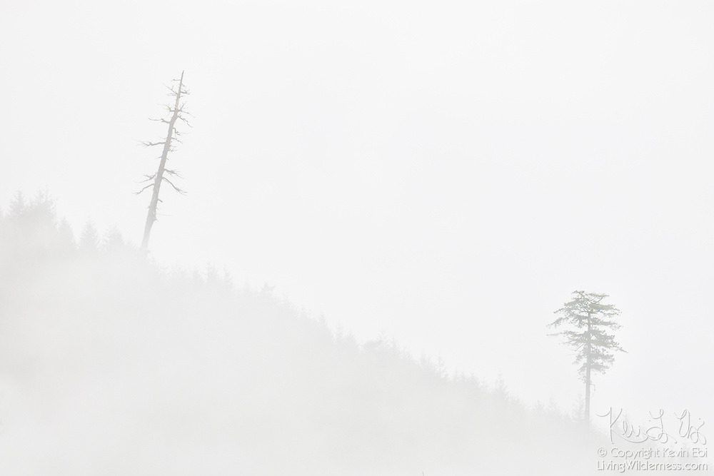 A large tree and leaning snag stand tall above the second-growth forest on Jackman Ridge, which is obscured by fog, in the North Cascades of Washington state.