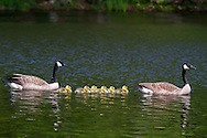A pair of Canada Geese (Branta canadensis) escort 6 goslings across McLean Pond at Campbell Valley Park in Langley, British Columbia, Canada
