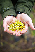 Fergus Drennan collects Weeping Willow catkins by the River Stour, Chartham, Kent, UK.Fergus Drennan , known as 'Fergus the Forager' is a chef, wild food experimentalist and educator.