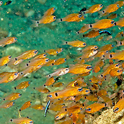 Flower Cardinalfish form large aggregations around reefs. Picture taken Amobn, Indonesia.