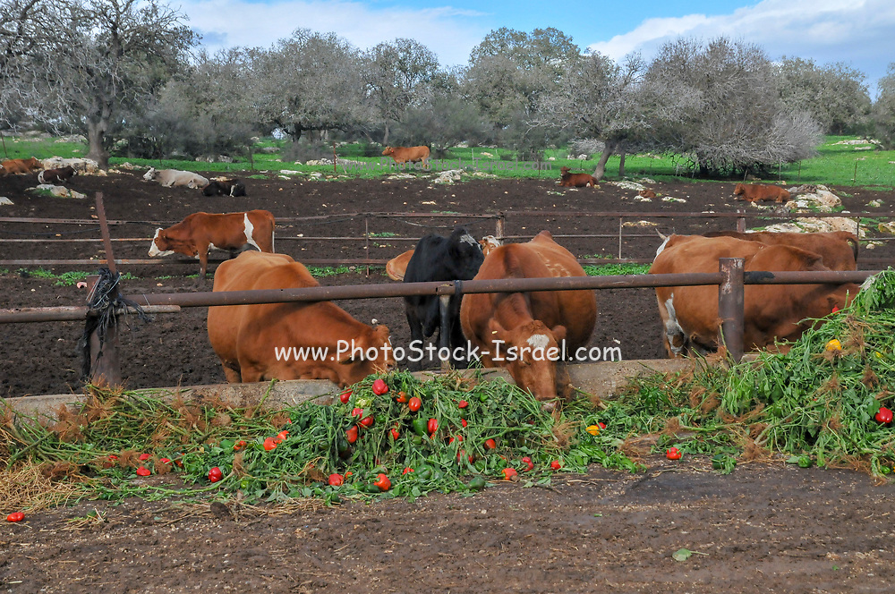 Dairy Farm. Cows are given surplus bell peppers to eat. Surplus vegetables are fed to livestock to prevent flooding the market with products and having to cut prices
