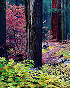Autumn colors of thimbleberry, Rubus parviflorus, and mountain dogwood, Cornus nuttallii, Redwood Mountain Grove of Giant Sequoias, Kings Canyon National Park, California.