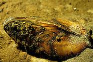 Freshwater Mussels, Underwater