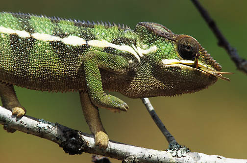 Chameleon feeding on an insect. These chameleons are indigenous to Madagascar.
