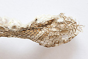 Head end of sloughed adder skin (Vipera berus). Surrey, UK.