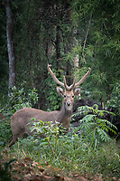 Eld's deer (Panolia eldii), also known as the thamin or brow-antlered deer, is an endangered species of deer endemic to South Asia. Huai Kha Khaeng Wildlife Sanctuary Thailand.