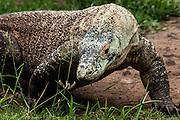 A Komodo Dragon hunts for prey