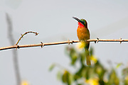 Red-throated Bee-eater (Merops bulocki) from Murchison, Uganda.