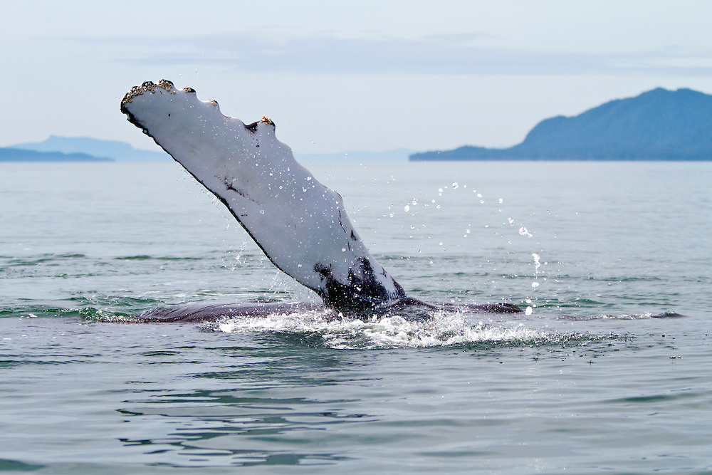 USA, Alaska, Frederick Sound, Humpback whale (Megaptera novaeangliae) raising its pectoral fin out of the water