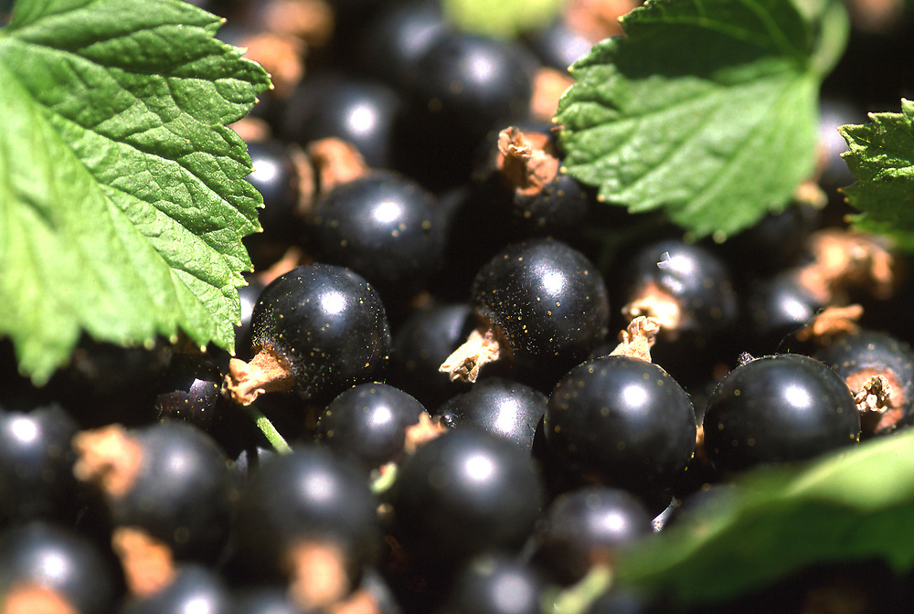 Close up selective focus photo of a bunch of Black Currants