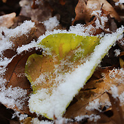 Snow flakes on autumn leaves as the Eastern seaboard of the USA experiences a late autumn snow fall during a cold snap indicating winter is on it's way. Norwalk, Connecticut, USA. 12th November 2013. Photo Tim Clayton