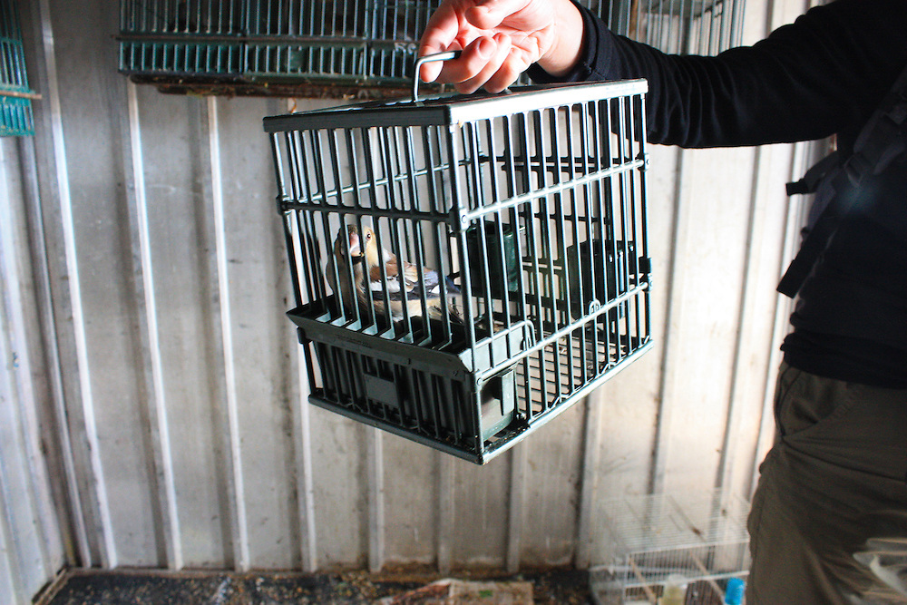 A Hawfinch (Coccothraustes coccothraustes) at a bird trapping site in the Italian Alps. Caged birds are used to lure and catch other birds such as larks, thrushes and finches. In December 2014, following action by the European Court in Brussels for breach of the Birds Directive, the Italian government announced it would order the closure of the last 92 trapping sites ('roccoli')