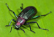 Jewel Beetle, Sagra sp. Leaf Beetle, Family: Chrysomelidae, Hacienda Baru, Costa Rica, tropical jungle, South America, irridescent purple and green.Central America....
