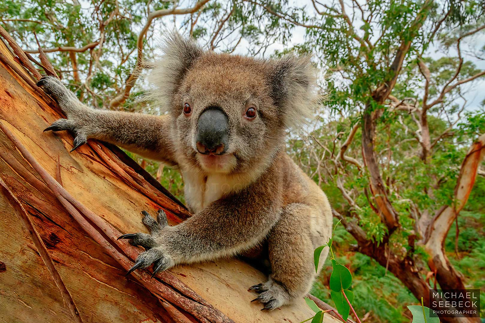 A stunning photograph of a wild koala high up a manna gum in the Otway Ranges area of Victoria.<br /> <br /> Code: LAVS0083<br /> <br /> Available as a limited edition print and as a stock image.<br /> <br /> Limited Edition of 25