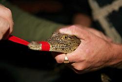 Taking Tape Off Of Crocodile