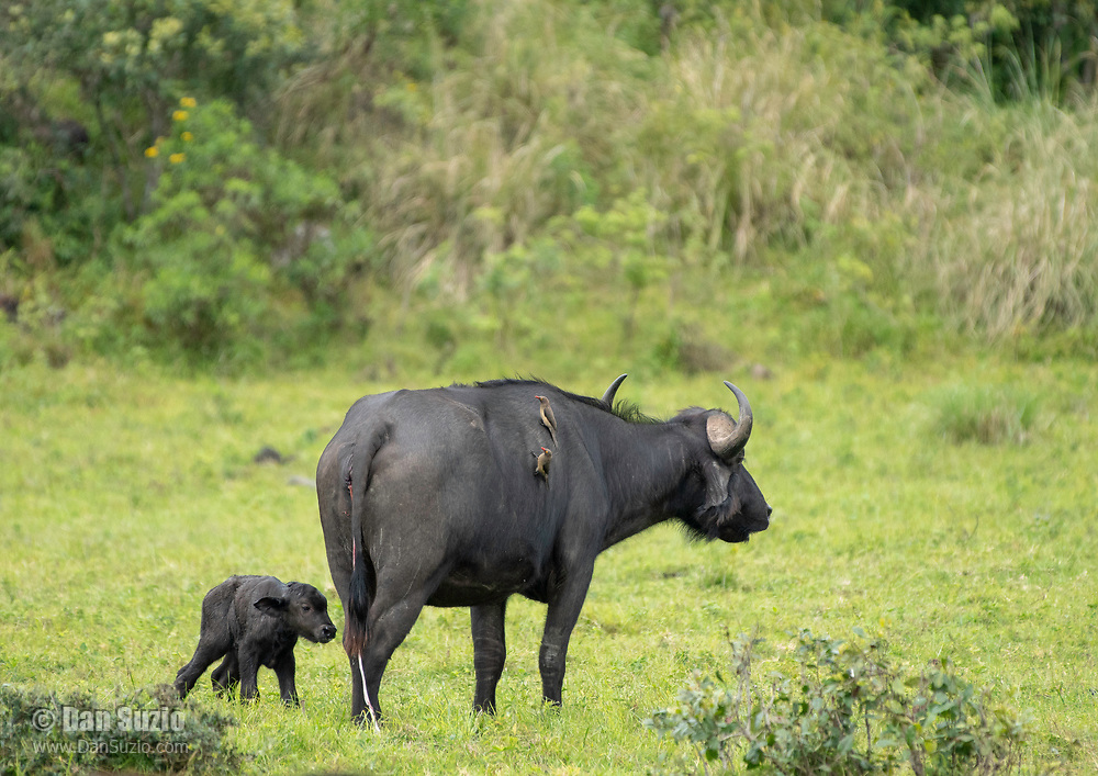 A mother Cape Buffalo, Syncerus caffer caffer, stands with her newborn calf in Arusha National Park, Tanzania. The umbilical cord can still be seen hanging from the mother, and two Red-billed Oxpeckers, Buphagus erythrorhynchus, perch on her back.