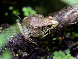 01 June 2015. Jean Lafitte National Historic Park, Louisiana.<br /> A bronze frog in the swamp at the Barataria Preserve wetlands south or New Orleans.<br /> Photo©; Charlie Varley/varleypix.com
