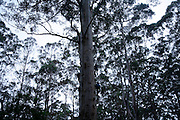 A huge karri tree near Pemberton. These trees are often used for forest guard vigilance points.