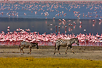 Zebra walk near the edge of Lake Magadi (covered in flamingos), Ngorongoro Crater, Ngorongoro Conservation Area, Tanzania