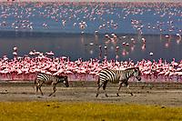 Zebra walk near the edge of Lake Magadi (covered in flamingos), Ngorongoro Crater, Ngorongoro Conservation Area, Tanzania