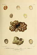 Crepidula, commonly known as the slipper snails, slipper limpets, or slipper shells, is a genus of sea snails, marine gastropod mollusks in the family Calyptraeidae. (Top and Centre) and Calyptraea, commonly known as the Chinese hat snails is a genus of sea snails, marine gastropod mollusks in the family Calyptraeidae. From the book 'Voyage dans l'Amérique Méridionale' [Journey to South America: (Brazil, the eastern republic of Uruguay, the Argentine Republic, Patagonia, the republic of Chile, the republic of Bolivia, the republic of Peru), executed during the years 1826 - 1833] Volume 5 Part 3 By: Orbigny, Alcide Dessalines d', d'Orbigny, 1802-1857; Montagne, Jean François Camille, 1784-1866; Martius, Karl Friedrich Philipp von, 1794-1868 Published Paris :Chez Pitois-Levrault. Publishes in Paris in 1843