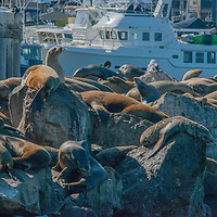 California sea lions (Zalophus californianus) rest and sun themselves on a breakwater in Monterey, California.
