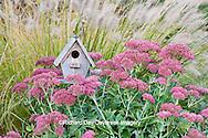 63821-22409 Birdhouse in garden with Autumn Joy Stonecrop (Sedum spectabile 'Autumn Joy') and Fountain Grass (Pennisetum setaceum) Marion Co., IL