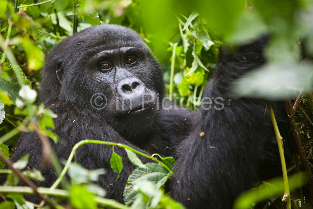 One of the adult females of the Bitukura (Red) Mountain Gorilla (Gorilla beringei beringei) group. The Bitukura group has 14 gorillas in total and is in the Bwindi Impenetrable National Park in South West Uganda. It is 1 of 2 places in the world where the Mountain Gorilla is found.