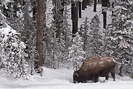 A bison finds vegetation beneath the snow in Yellowstone National Park