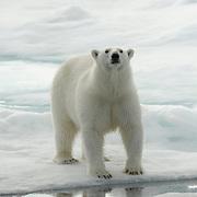 Polar bear on the Barents Sea, north of Svalbard, Norway.