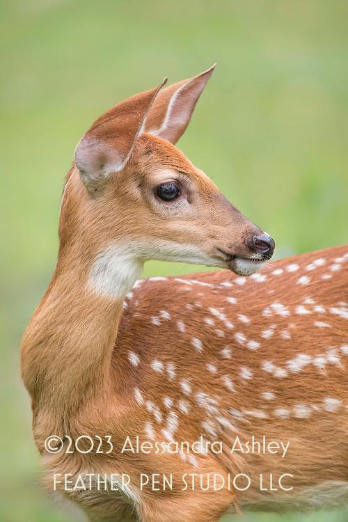 White-tailed deer fawn, Odocoileus virginianus, ears perked up to listen to surroundings.