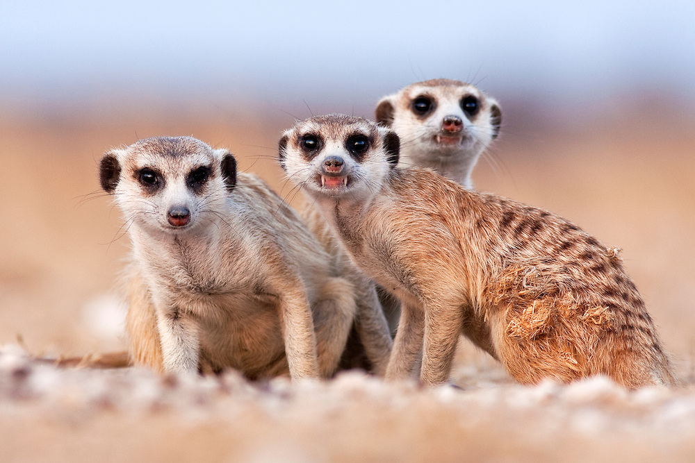 Three curious adult meerkats at the edge of their family den pose for the camera.  Botswana.