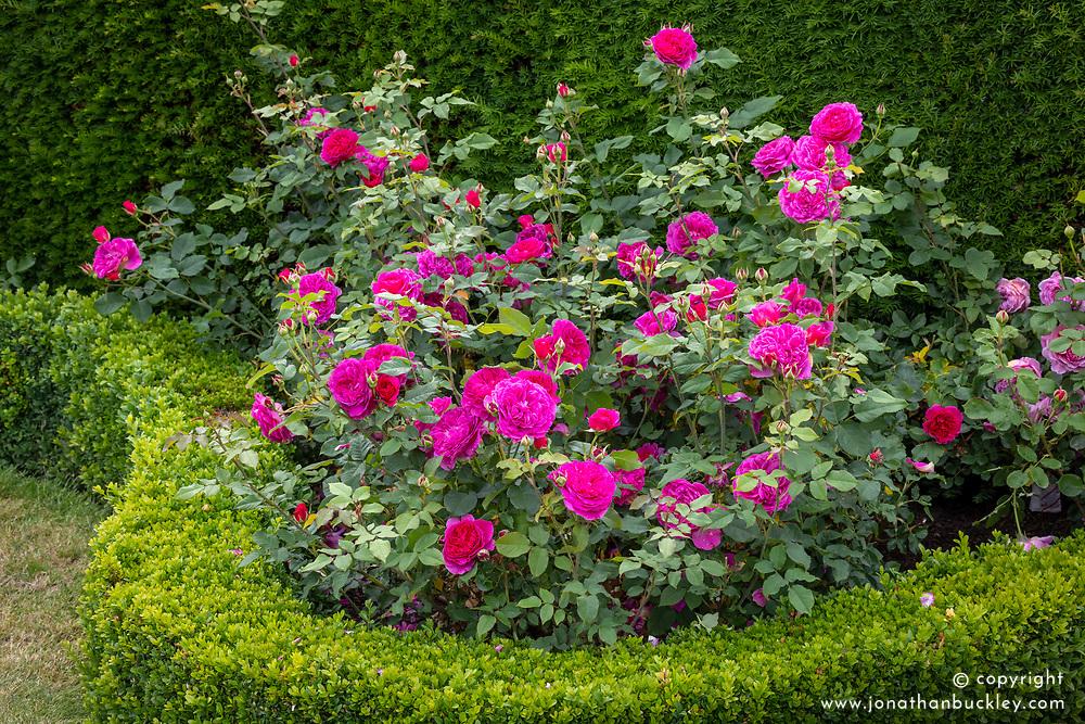 Rosa 'Gabriel Oak'