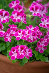 Pelargonium Pinkerbell syn. 'Regpinker'