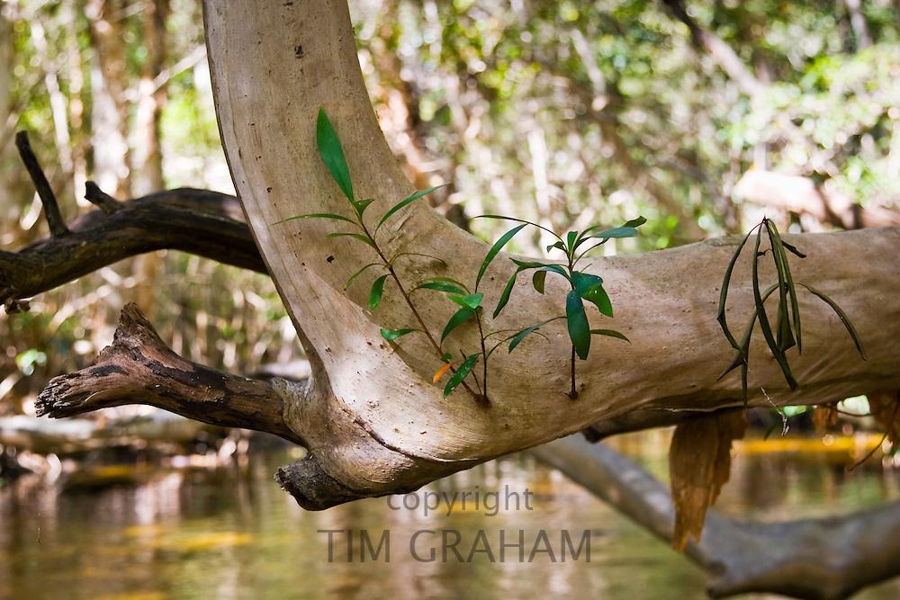 Water Cherry Tree above Mary Creek, Daintree Rainforest, Queensland, Australia