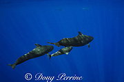 a pod of short-finned pilot whales, Globicephala macrorhynchus, with a calf nursing from its mother, north Kona Coast, Hawaii, U.S.A. ( Central Pacific Ocean )
