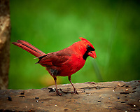 Male Northern Cardinal at the Bird Feeder. Image taken with a Fuji X-T2 camera and 100-400 mm OIS telephoto zoom lens