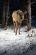 A juvenile elk (Cervus elaphus) in Big Hole National Battlefield, Montana. Photographed with a trail camera via a premit issued by the National Park Service.
