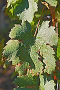 A  Merlot leaf at Chateau la Grave Figeac, Saint Emilion, Bordeaux - Chateau La Grave Figeac, Saint Emilion, Bordeaux